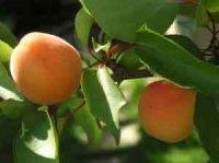 Как укреплять здоровье с помощью абрикосового сока
