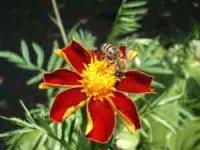 Как избежать нападения пчел и что делать, если пчела ужалила
